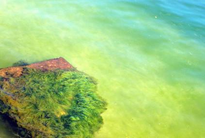 Spirulina im natürlichen Umfeld