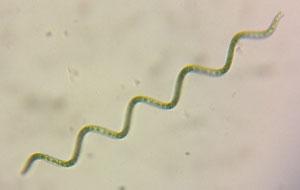 Gedrehte Spirulina Algen stark vergroessert